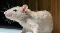Les rats aussi peuvent avoir des