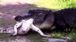 Un alligator gigantesque mange un autre