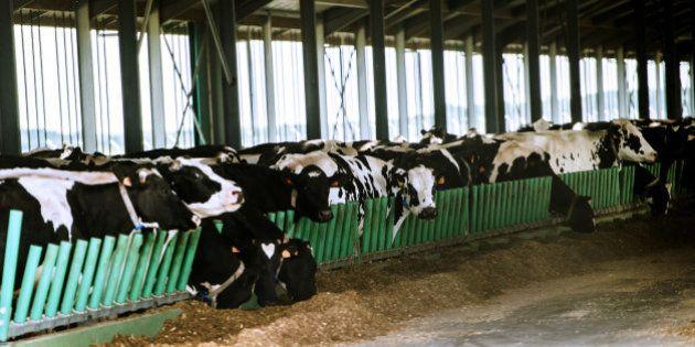 La Ferme des 1000 vaches dépasse le nombre de bêtes autorisé et sera sanctionnée, annonce Stéphane Le