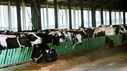 La Ferme des 1000 vaches dépasse le nombre de bêtes autorisé et sera