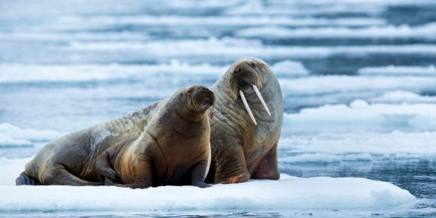 NORDAUSTLANDET, NORWAY - UNDATED: EXCLUSIVE A female and a calf Atlantic walrus photographed at the coast...