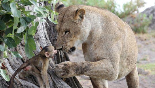 Incroyable interaction entre cette lionne et ce bébé