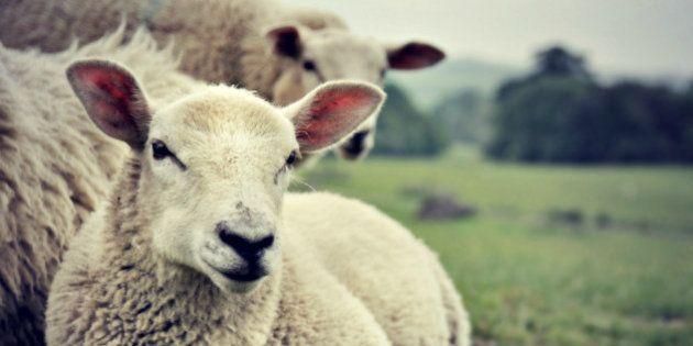Grenoble: des moutons pour tondre les pelouses en plein