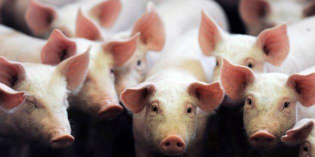 Comprendre la crise du porc avant la réunion cruciale de la filière au ministère de