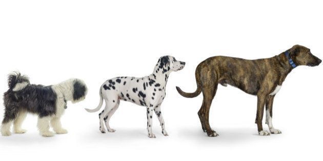 Four dogs in ascending order. Smallest dog looking at