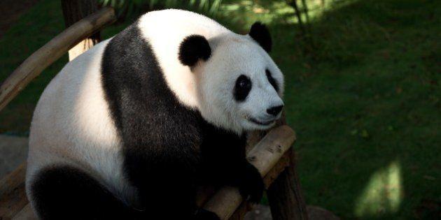 Un panda géant donne naissance à un petit en captivité dans un zoo en