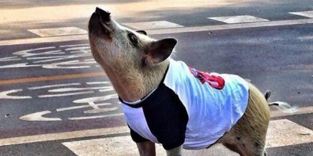 Jamon the pig sur Instagram et Facebook : un cochon avec 360.000 fans et son propre dessin