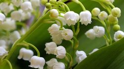 Attention, le muguet risque d'être plus cher