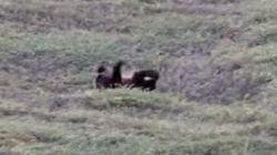 Ce grizzly adore faire des