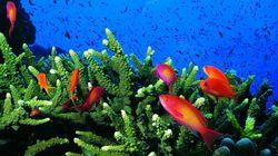 Les coraux des Caraïbes pourraient disparaître d'ici 20