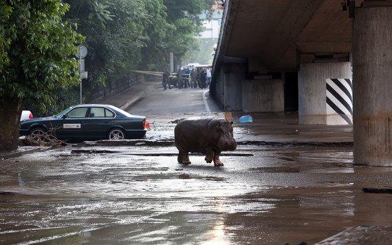 Géorgie: un homme tué par un tigre échappé du zoo de Tbilissi lors des inondations (ministère