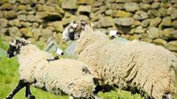 Des moutons pour filmer le Tour de