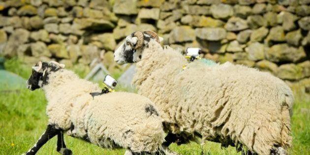Un fermier a installé des caméras sur ses moutons pour filmer le Tour de