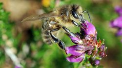 Les abeilles victimes des pesticides? Ce n'est pas aussi