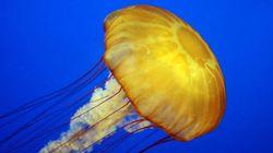 Et si les méduses inspiraient les sous-marins du