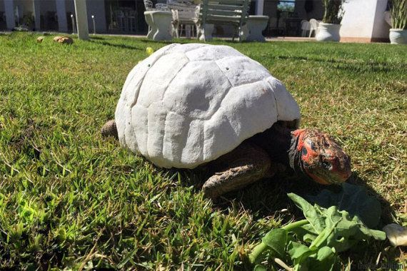 PHOTOS. Ils recréent en 3D la carapace d'une tortue qui avait