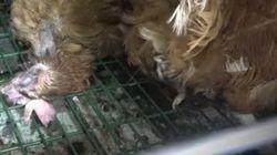 Cadavres décomposés, poux... la nouvelle vidéo choc de L214 dans un élevage de poules