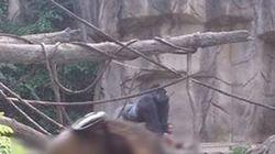 Un gorille tué par un zoo après la chute d'un enfant dans