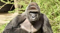 Les parents du garçon sauvé appellent à faire un don pour le gorille
