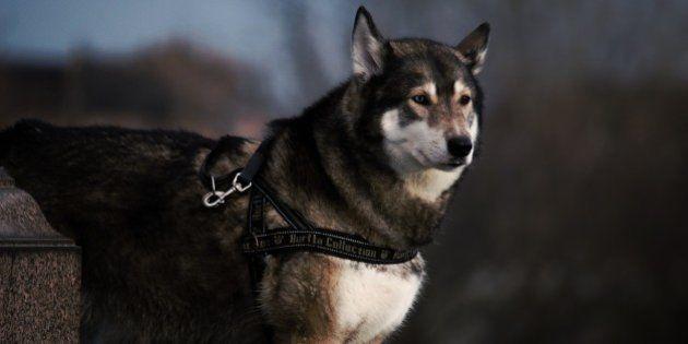 Le mystère de l'origine du chien s'éclaircit, le loup aurait été domestiqué deux fois par