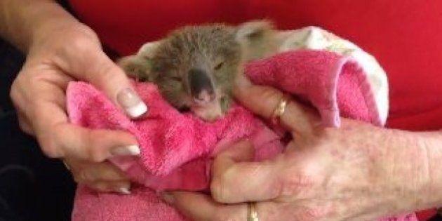L'histoire de ce bébé koala a fait fondre le cœur des