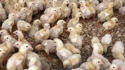 Les États-Unis vont mettre fin au broyage des poussins (contrairement à la