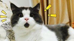 OMG Cat, le chat qui a tout le temps l'air surpris