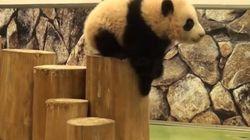 Ces chutes de bébés pandas vont vous faire