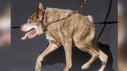 Quasi Modo, le chien le plus laid du monde 2015 (qui est en fait