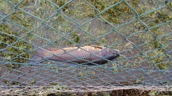 On a participé au sauvetage des poissons piégés par la décrue de la