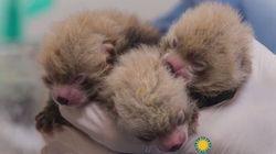 Sept adorables pandas roux sont nés aux