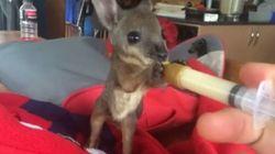 Ce bébé wallaby va vous faire