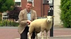 Cet agneau n'a pas été très respectueux avec un journaliste de la