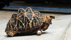 Cette tortue perd une patte et gagne deux petites