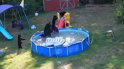 Contre la canicule, les ours squattent les piscines