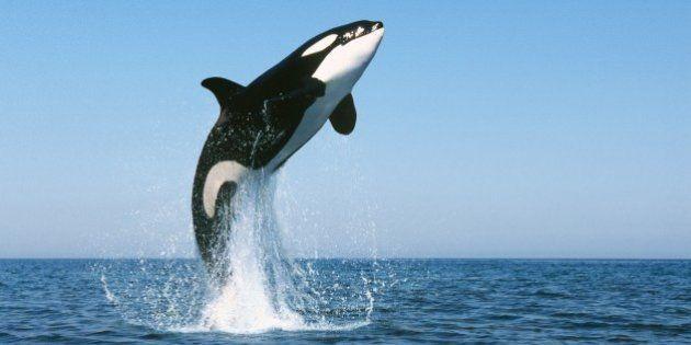 VIDÉOS. Dauphins: les orques sont capables d'apprendre le langage de