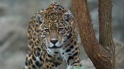6 mois de prison pour avoir tué un jaguar et posé avec sur