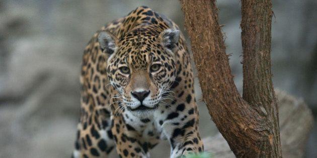 Un chasseur de jaguar qui avait posé avec sa dépouille sur Facebook condamné en