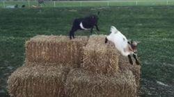 Ces deux chèvres prennent la relève des
