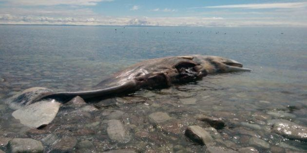 PHOTOS. Une baleine échouée en vente sur eBay pendant quelques heures avant d'être