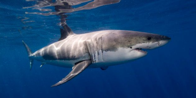 White shark from Isla Guadalupe,
