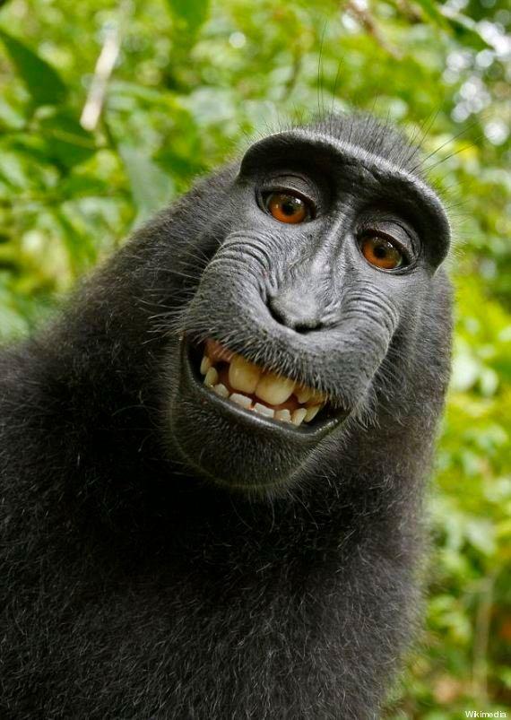 Wikipedia refuse de retirer cette photo de singe... car c'est un