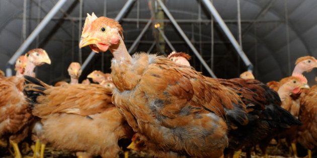 Un cas de grippe aviaire dépisté en Dordogne, une première depuis 2007 en