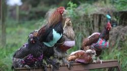 Des pulls pour poules pondeuses à la