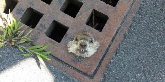 VIDÉO. Une marmotte coincée dans une grille d'égout secourue grâce à un passant et la