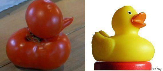 VIDÉO. Une tomate en forme de canard retrouvée dans un jardin du