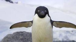 La population de manchots d'Antarctique pourrait diminuer de 60% d'ici la fin du