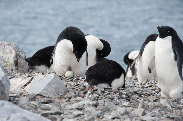 Cette espèce de manchots d'Antarctique pourrait diminuer de 60% d'ici la fin du