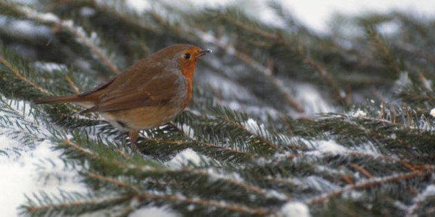 Robin perched on pine tree
