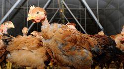 Deux nouveaux cas de grippe aviaire détectés en